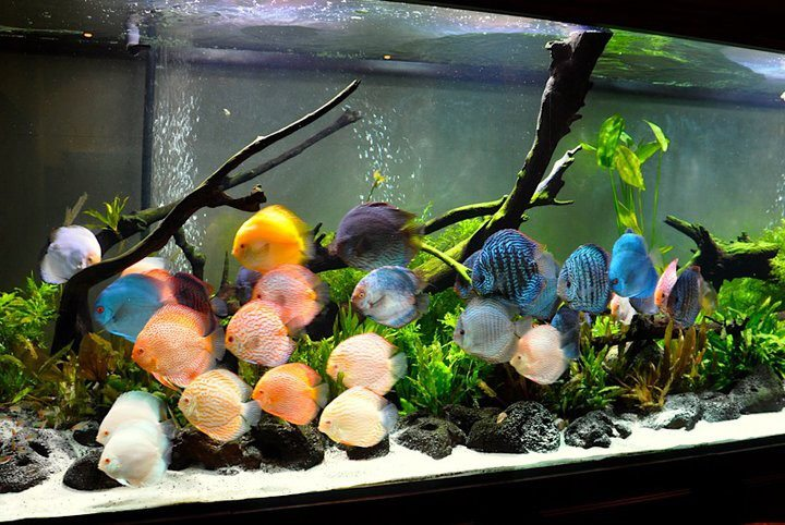 All About Betta Fish Discus Fish In Planted Tank