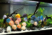 discus fish in planted tank. Email ThisBlogThis!