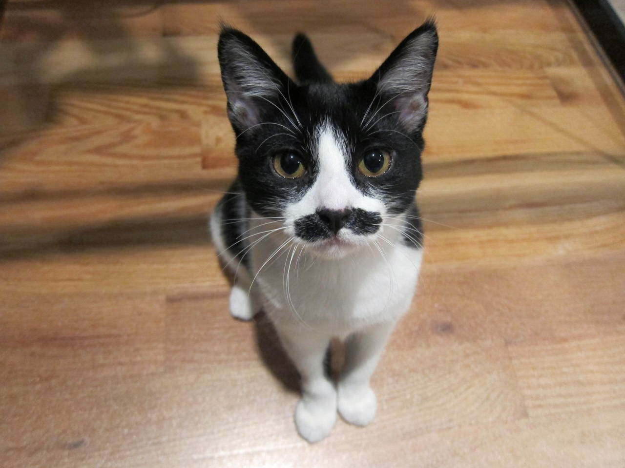 Funny cats - part 97 (40 pics + 10 gifs), cat pictures, kitten with mustache