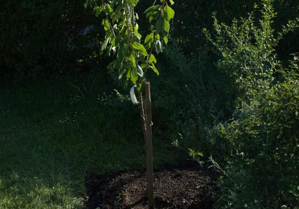 Nyplanterat sötkörsbärsträd