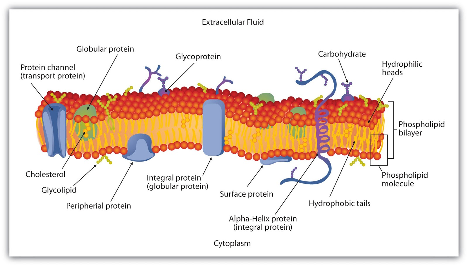 what is a membrane The purpose of a cell membrane is to separate the cell's contents from the  external environment because life evolved in an aqueous, or watery,.