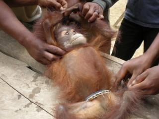 pembantaian orangutan