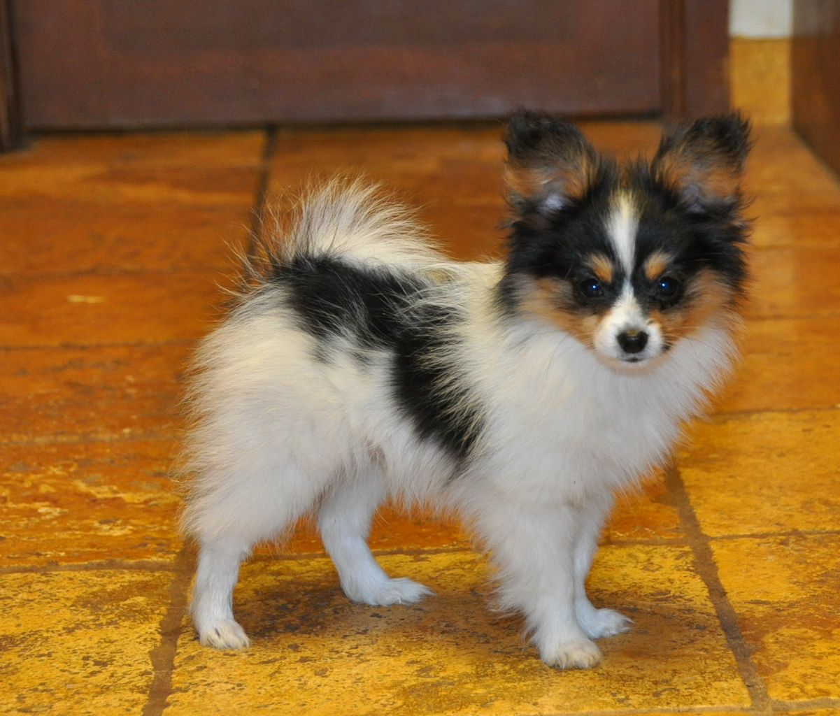 Months old Papillon Dog