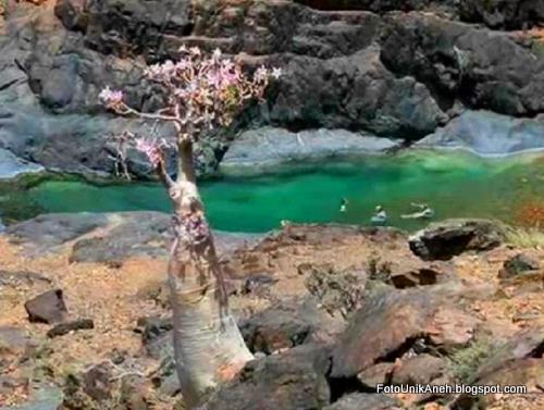 Si Cantik Mawar Gurun Di Tepi Tebing Sungai