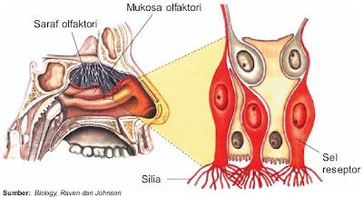 Reseptor pada indera penciuman