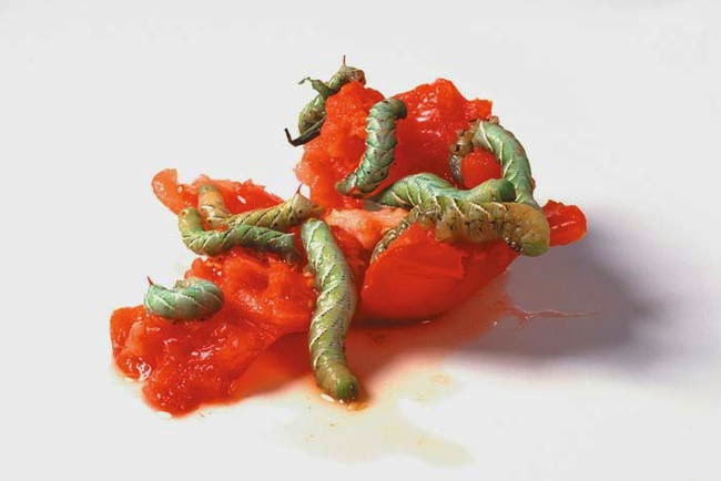 Hunting and feeding (19 pics), Caterpillars devouring a tomato