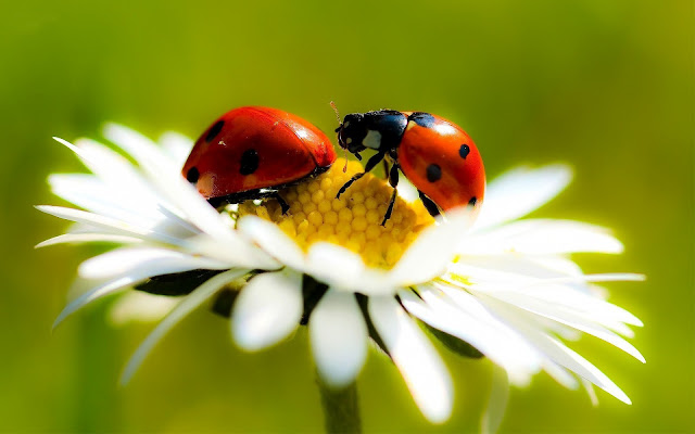 Close up photo with two ladybugs on a white flower