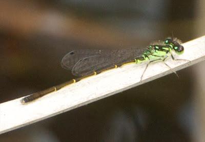 Fragile Forktail (Ischnura posita) m
