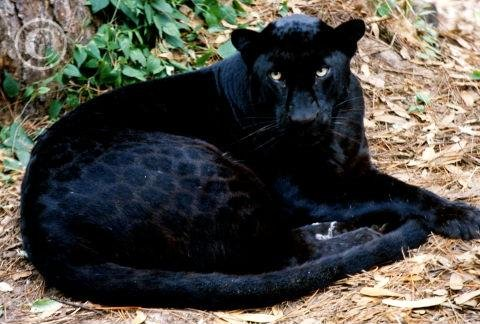 Black panthers, Panthers and Leopards on Pinterest