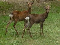 いまにも走りだしそうな姿をする2頭の鹿
