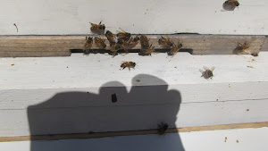 Fall is upon us, the bees are busy preparing...