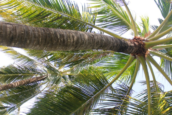 Bali Palm Trees