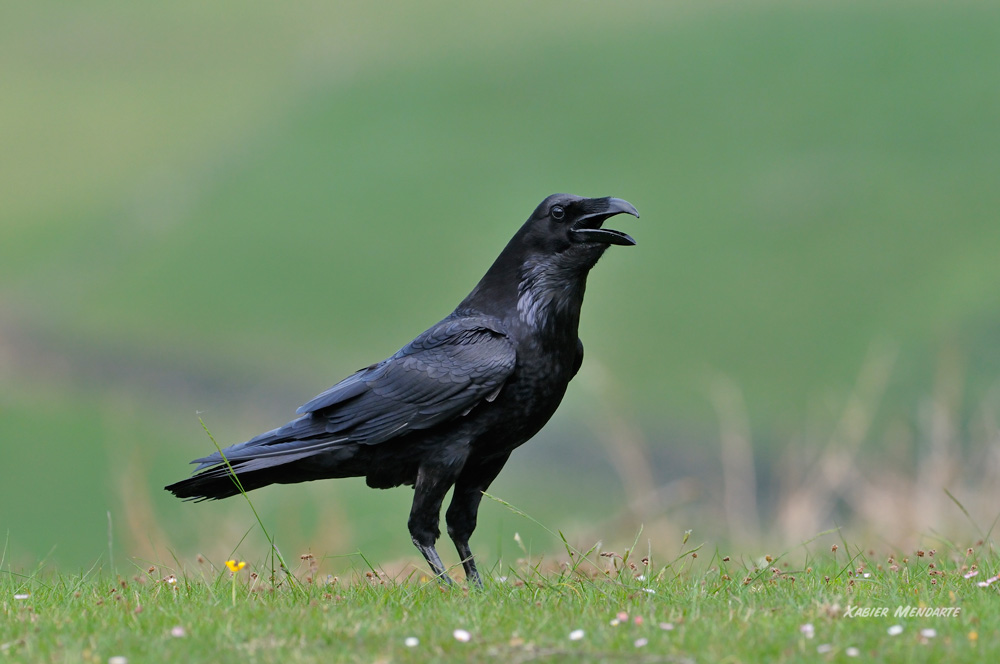 Erroia, Corvus corax, Cuervo común, belezarra