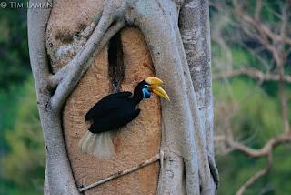 Burung Julang SUlawesi, Lambang Kesetiaan