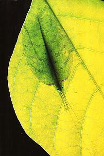 Листовой зеленый кузнечик