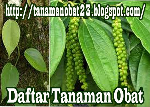 Tanaman Obat Lada (Piper nigrum L.)