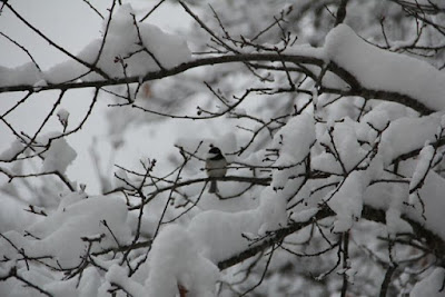 chickadee in Winter snow