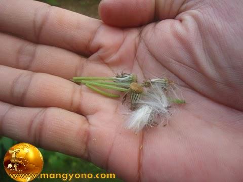 FOTO : Biji sintrong menempel di setiap rambut bunga yang berwarna putih seperti kapas atau bulu halus