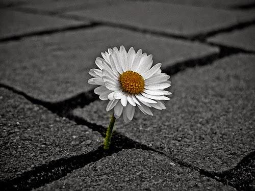 flor  entre as pedras