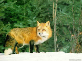 fox animal wallpaper rubah red gold species dog