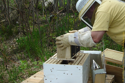 Packaging bees being dumped into hive