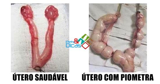 Imagem de útero saudável e útero com piometra