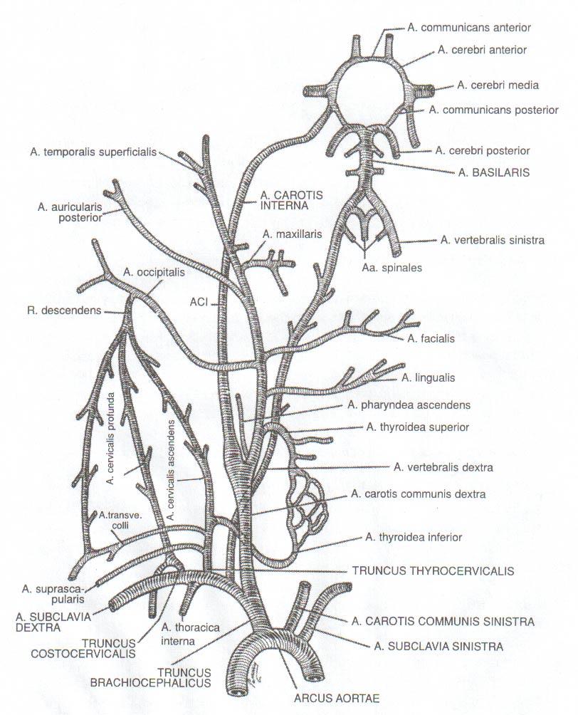 Berühmt Anatomie Der A. Carotis Interna Bilder - Anatomie Von ...