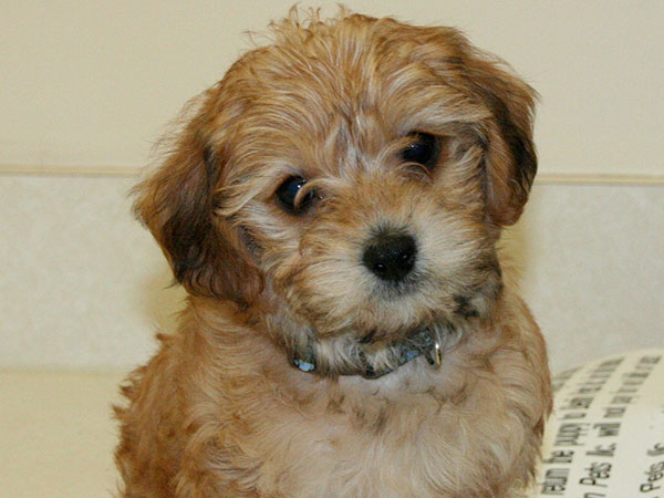 Have won Adult yorkie poo picture