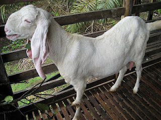 harga kambing jamnapari