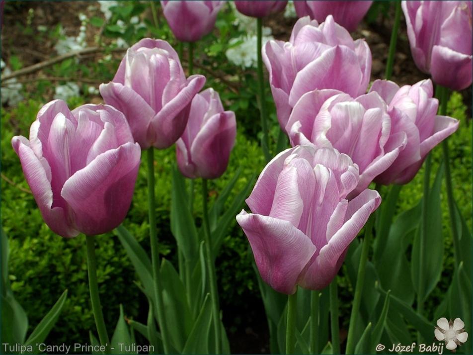 Tulipa 'Candy Prince' - Tulipan 'Candy Prince'