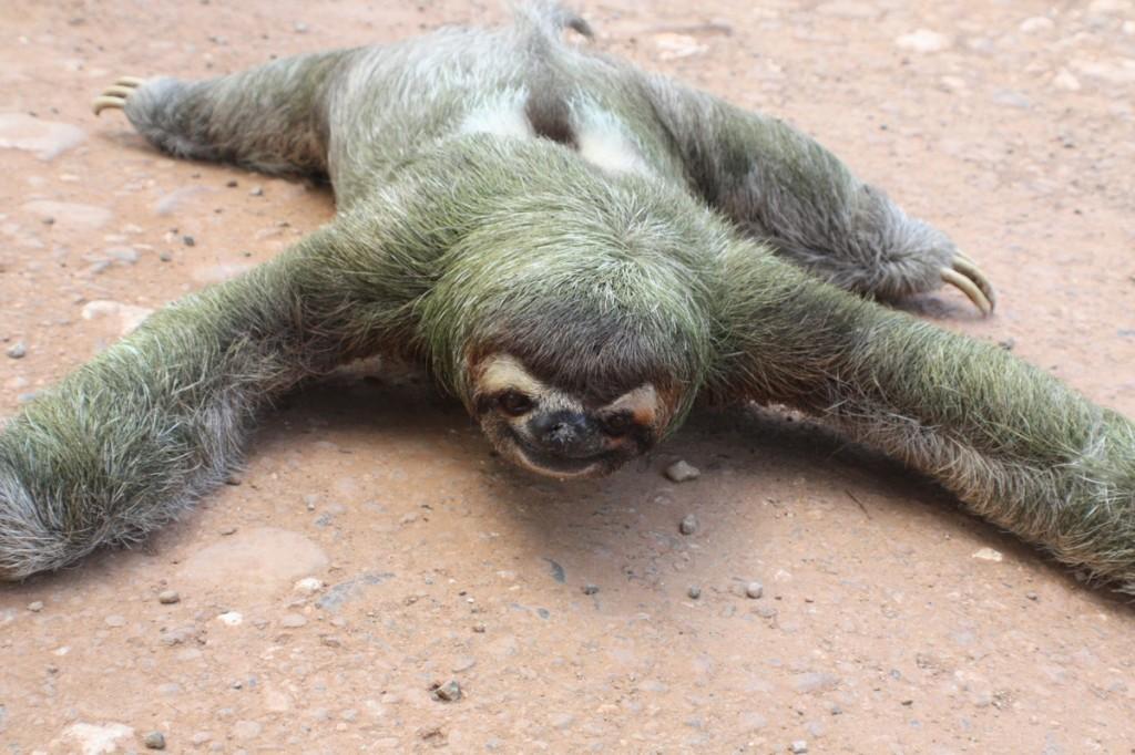 [Image: Three-Toed-Sloth-.jpg]