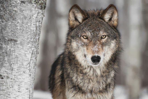 Critics Decry Proposed Removal Of Gray Wolf From Endangered Species List