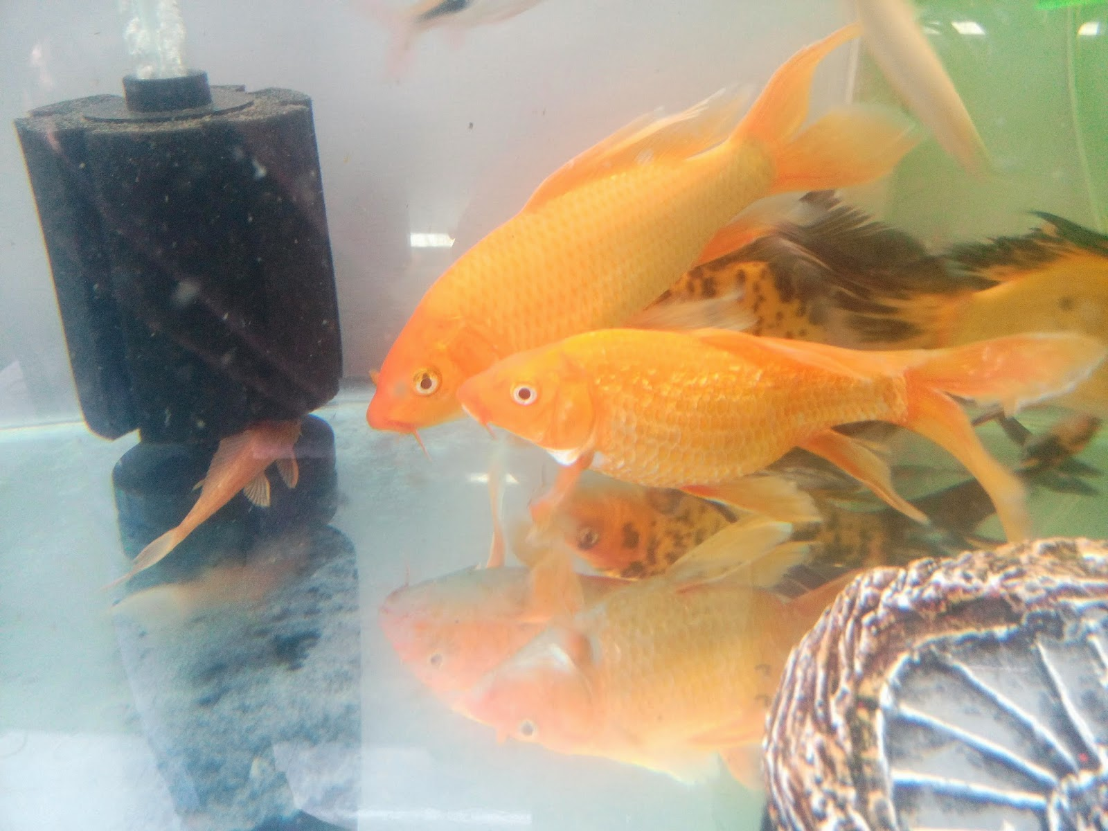 Joe 39 s aquaworld for exotic fishes mumbai india 9833898901 for Koi fish tail