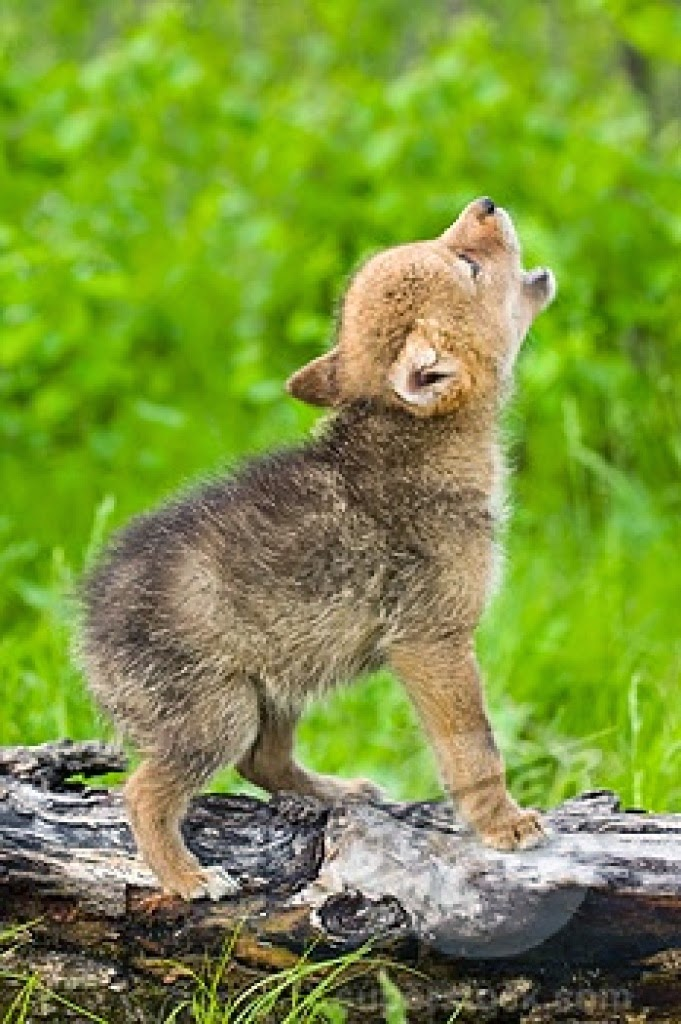 White Wolf : 15 Photos Of Adorable Howling Wolf Pups Will ...