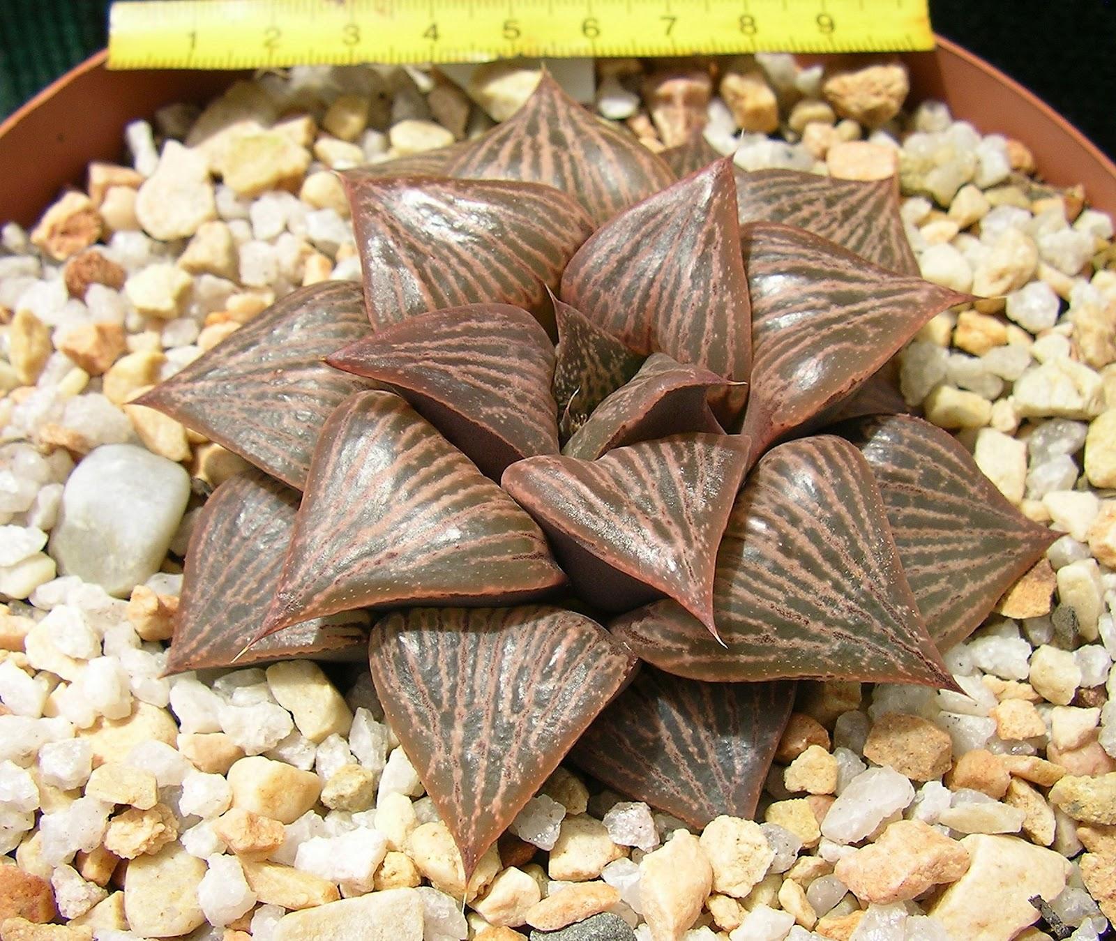 Haworthia retusa ('pink' multilineata) X H. splendens