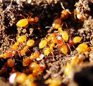 kiến chanh rất nhỏ