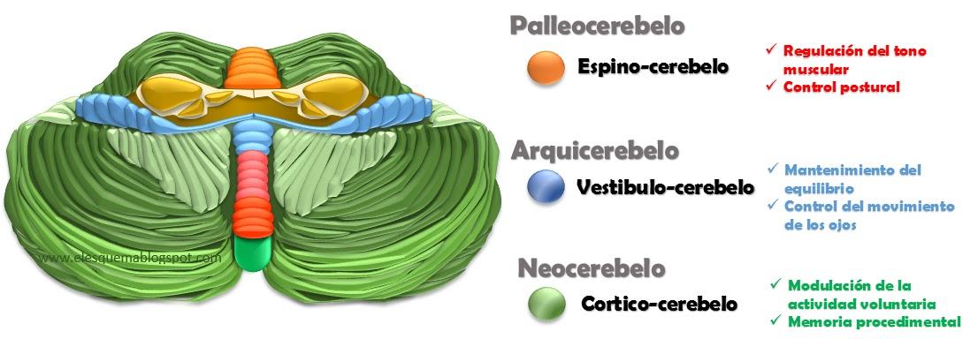 Anatomía cerebelosa - Breen Flores