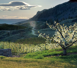 Pear orchard in Wenatchee