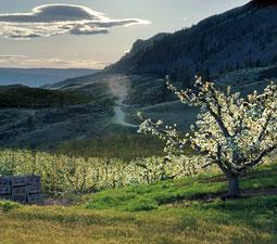 Pear orchard in Wenatchee