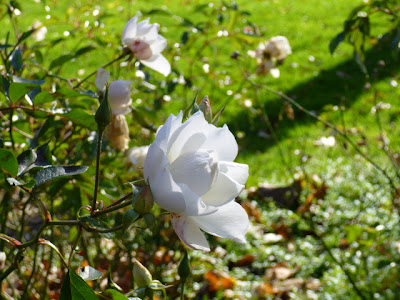 Iceberg Rose (white) in bloom in Gardens, mid-Autumn, Port Credit, Ontario.