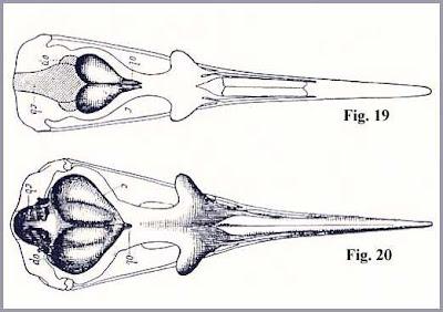 Ichthyornis skull