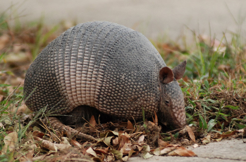 an overview of the armadillo in the animal kingdom An explanation of taxonomy, the science of naming living things.