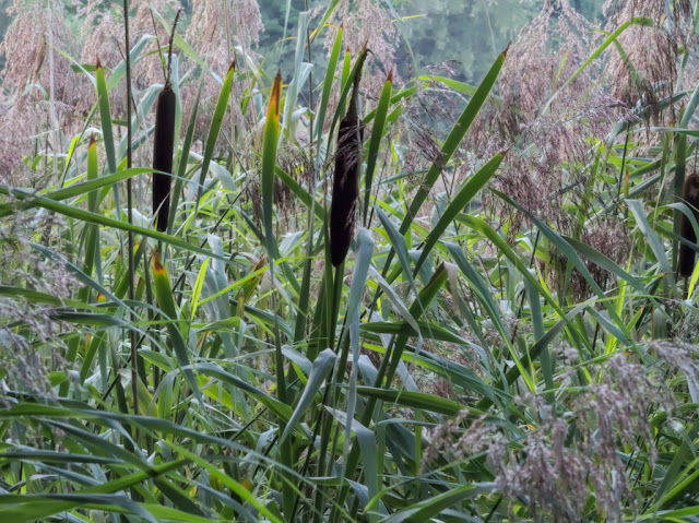 Bulrushes among the reeds