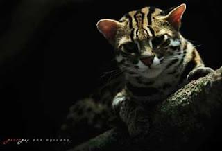 Foto Kucing Hutan (Leopard) Imut