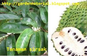 sembuhkan penyakit berkat tanaman