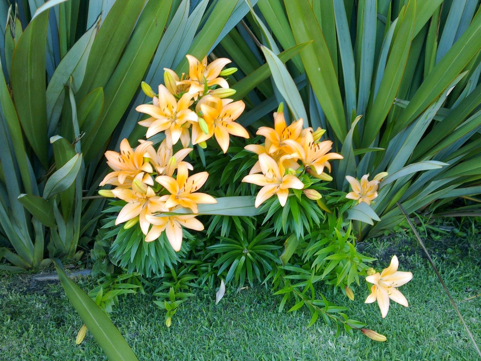 Lilium azucena plantas y flores for Azucena plantas jardin