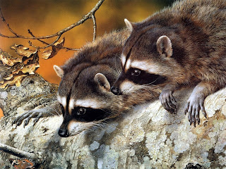 Raccoon Wallpapers