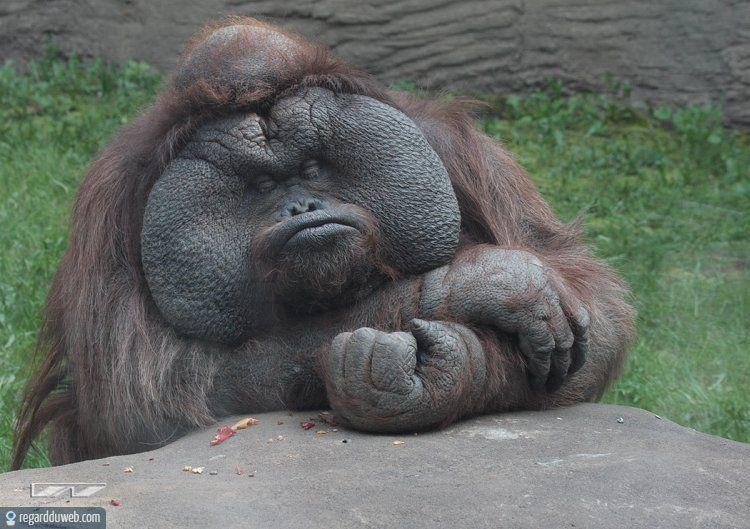 humour-drole-insolite-animal-singe-goril