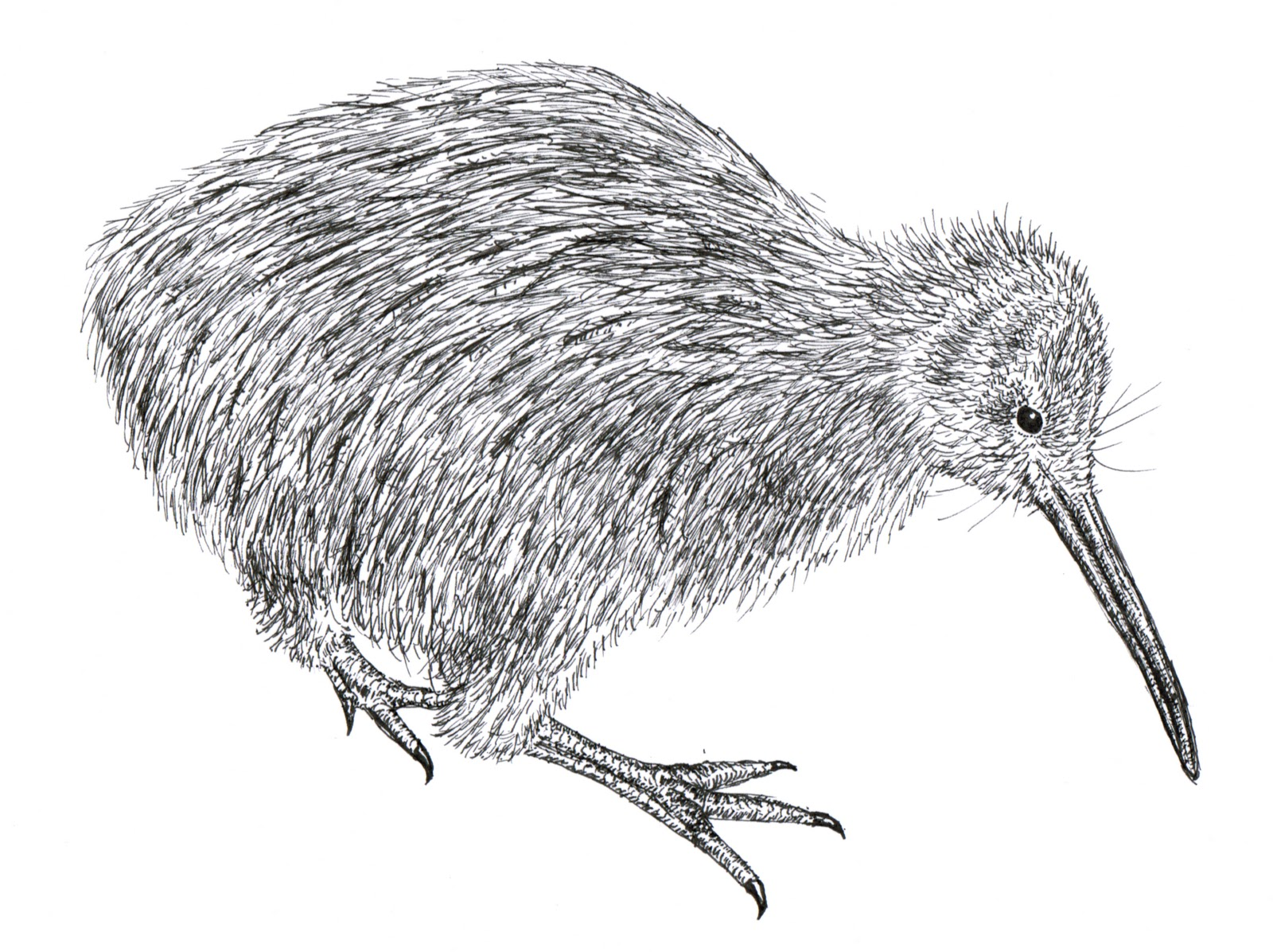 Chuck Does Art: Kiwi (bird) Art