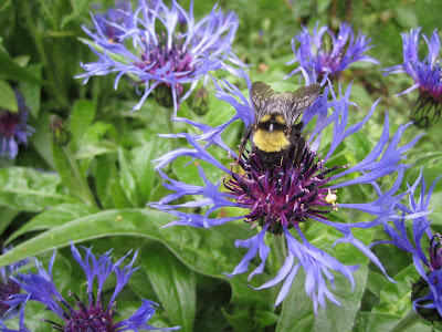 Centaurea montana with a bumblebee.